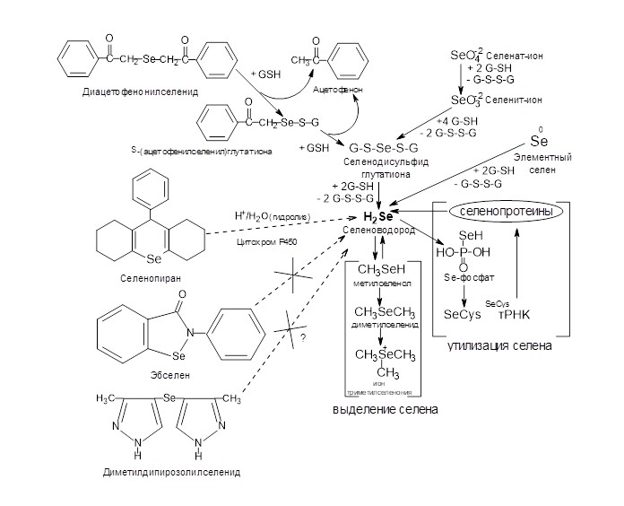 General scheme of metabolism of selenium-containing xenobiotics and selenite- and selenate-ions.